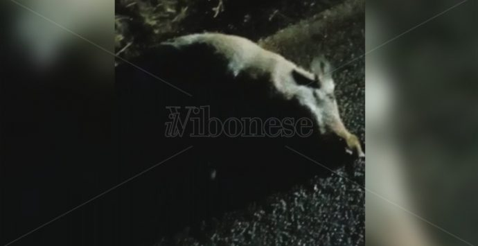 Francavilla, moto si scontra con un cinghiale: «Situazione fuori controllo» – Video