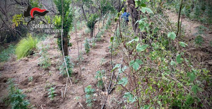 Piantagione di marijuana scoperta a Nicotera, due arresti -Video