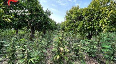 Marjuana, diecimila piante nel Vibonese: arrestato imprenditore – Video