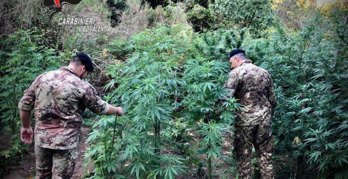 Marijuana: oltre mille piante scoperte dai carabinieri a Nardodipace-Video