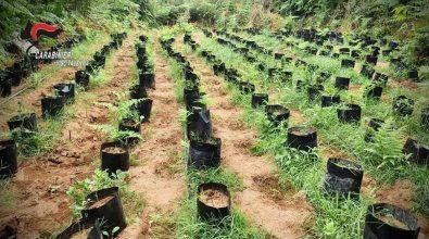 Vivaio della marijuana scoperto nelle Preserre vibonesi