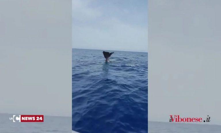 Sorpresa nelle acque tra Tropea e Zambrone: avvistato un capodoglio – Video